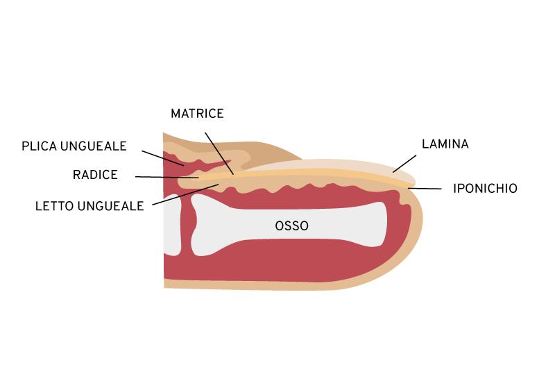 rappresentazione grafica della sezione di un polpastrello